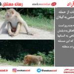 آخرین جزئیات از حمله میمون های وحشی به گیلان/ وحشت مردم منطقه سیاهکل