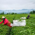 خرید برگ سبز چای از ۶۳ هزارتن گذشت/ پرداخت ۶۰ درصد مطالبات چایکاران