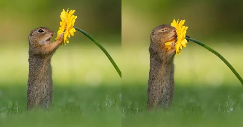 تصاویری استثنایی از بو کشیدن گل زرد توسط سنجاب